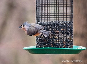 300a-tufted-titmouse-birds-12272019_027.jpg