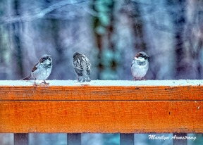 300a-snowy-three-little-birds-12-17-20191217_102
