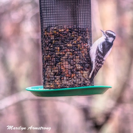 Pretty sure this one is a Hairy Woodpecker because he is much bigger than the Downy