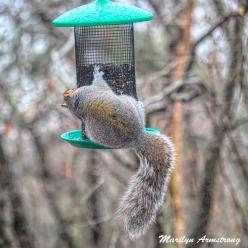 300c-round-rump-squirrel-12-73-20191217_001
