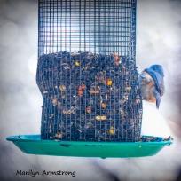 300x-bluebird-frozen-birds-12-18-20191218_320