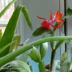 180-Square-Christmas_Cactus_01292020_205