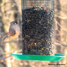 One of our most frequent visitors, a Tufted Titmouse