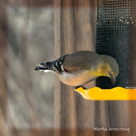 180-Square-Winter-Goldfinch-Birds_Pan_01222020_071