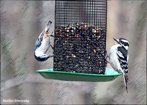Nuthatch and Downy Woodpecker sharing a bit of lunch