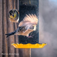 300-square-goldfinch-wings-cold_birds_01202020_110