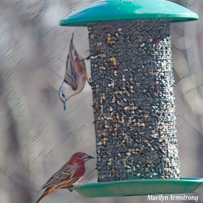 300-square-graphic-rose-breasted-nuthatch_red_finch_01112020_209