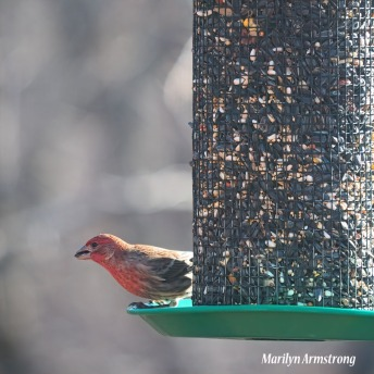 Red Finch alone