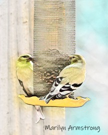300-two-watercolor-goldfinches-final-january-birds_01312020_112