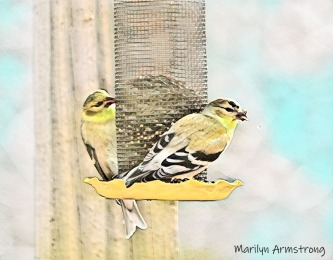 300-watercolor-goldfinches-final-january-birds_01312020_102