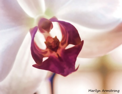180-heart-of-the-orchid-perfect-orchid_02092020_302
