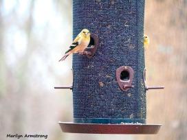 300-big-feeder-goldfinches-feeding-birds_02252020_101