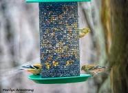 300-blotchy-goldfinches-feeding-birds_02252020_141