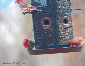300-feeding-red-finches02282020_052