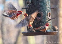 Red House Finches in motion