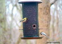 300-goldfinch-chickadee-feeding-birds_02252020_122