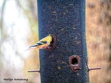 300-goldfinch-feeding-birds_02252020_144
