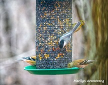 300-goldfinches-and-a-nuthatch-2-feeding-birds_02252020_137