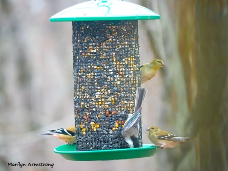 300-goldfinches-and-a-nuthatch-feeding-birds_02252020_138