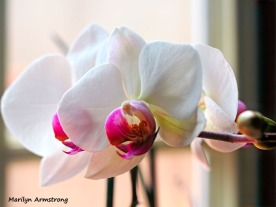 300-hdr-three-full-orchids_02252020_001