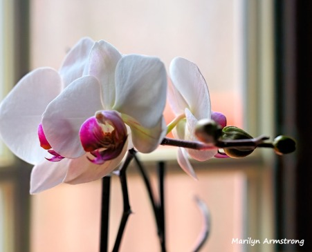 300-hdr-three-full-orchids_02252020_003