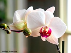 300-hdr-three-full-orchids_02252020_006
