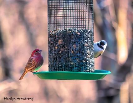 300-purple-finch-chickadee-more-birds_02212020_022