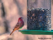 300-purple-finch-more-birds_02212020_019