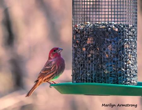 300-purple-finch-more-birds_02212020_019