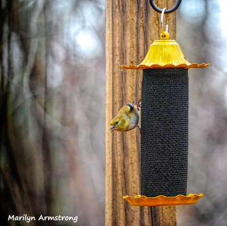 300-square-goldfinch-feeding-birds_02252020_131
