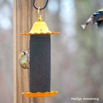 300-square-goldfinches-flying-feeding-birds_02252020_130
