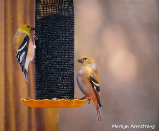 300-two-more-goldfinches_02092020_03