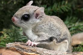 Our local northern flying squirrel.