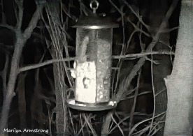 Can you see the long tail sticking up behind the feeder?