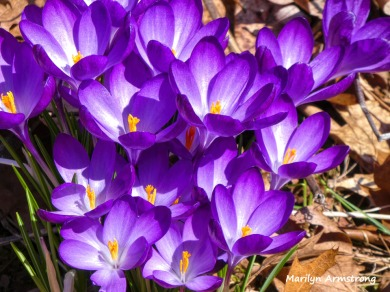 180-Macro-Purple-Crocus_03182020_0002