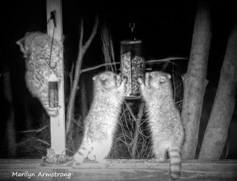 180-Three-Hungry-Raccoons-0318_03192020_023