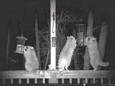 180-Three-Raccoons_BW_03052020_075