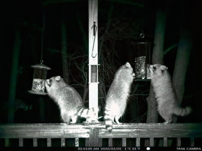 180-Three-Raccoons_BW_03052020_076