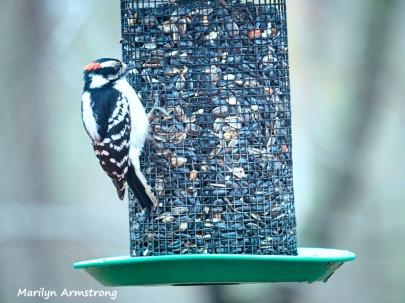 300-angry-bird-hairy-woodpecker-0318_03172020_221