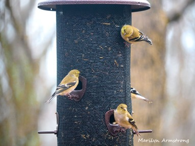 300-flock-early-goldfinch-03032020_060