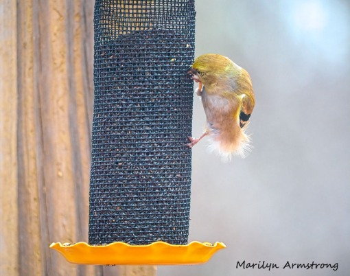 300-fluffy-yellow-early-goldfinch-03032020_046