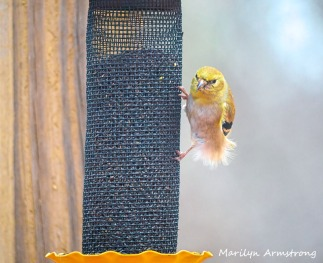 300-fluffy-yellow-early-goldfinch-03032020_047