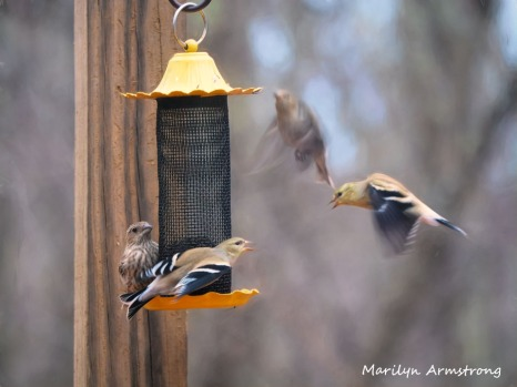 300-goldfinches-argument-birds_two_03062020_052