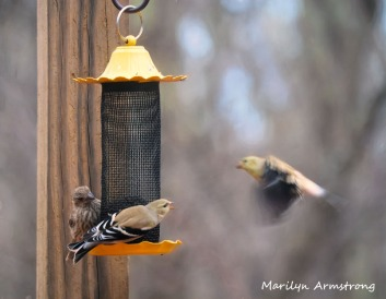 300-goldfinches-birds_two_03062020_053