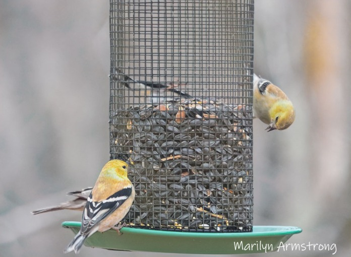 300-goldfinches-gray-day-finches_02042020_121