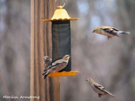 Goldfinches hanging in the air