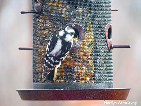 300-hairy-woodpecker-0318_03162020_206