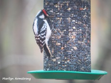 300-hairy-woodpecker-0318_03172020_220
