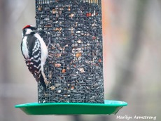 300-hairy-woodpecker-0318_03172020_222