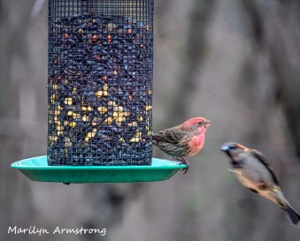 300-house-finch-flying-titmouse_birds_two_03062020_076